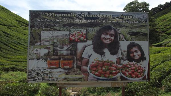 Strawberry farms - Cameron Highlands