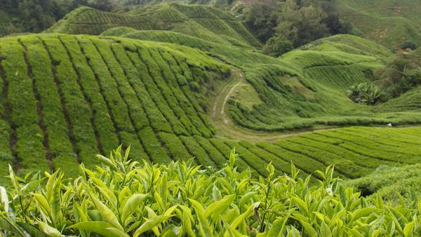 Tea Plantations - Cameron Highlands