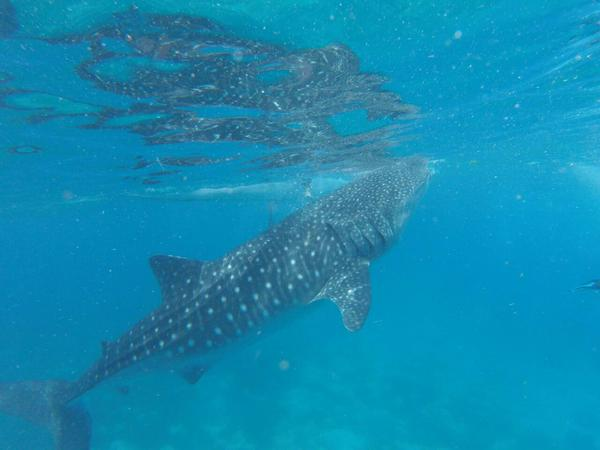 Snorkeling with whale sharks - Oslob from Bohol