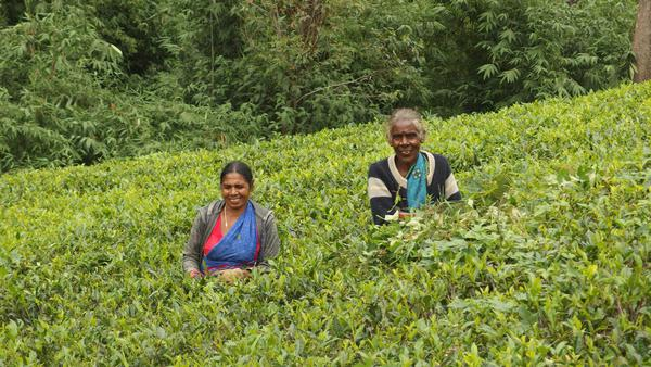 Tea Plantations - Nuwara Elliya